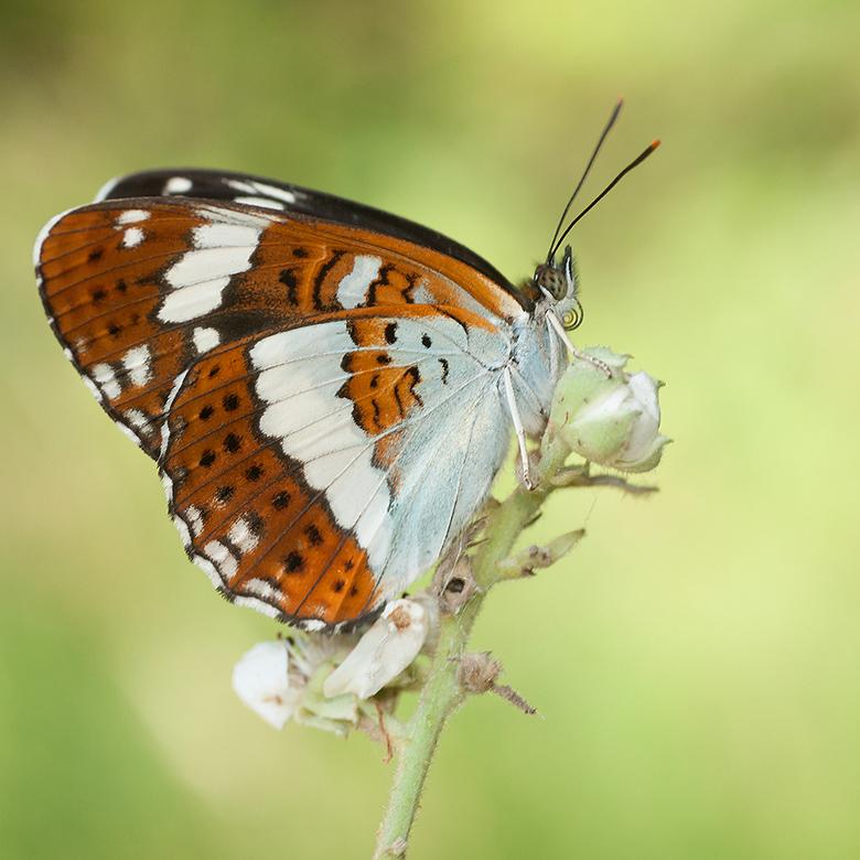 Kleine IJsvogelvlinder - Vorige weekend voor het eerst deze prachtige vlinder gezien en gelijk een hele mooie serie van kunnen maken en dat in ons moo