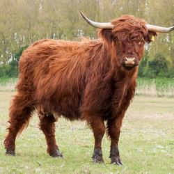 Schotse hooglander 72dpi