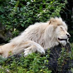 The Lion sleeps tonight . . .