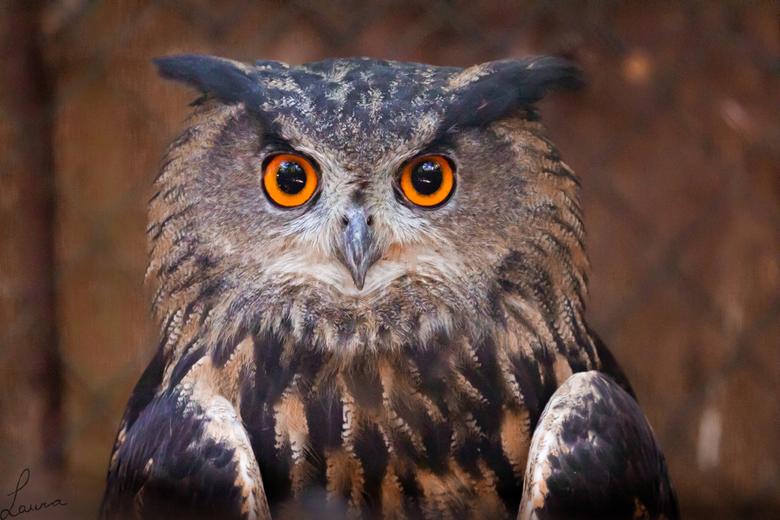 Owl - Oehoe, prachtige beesten!