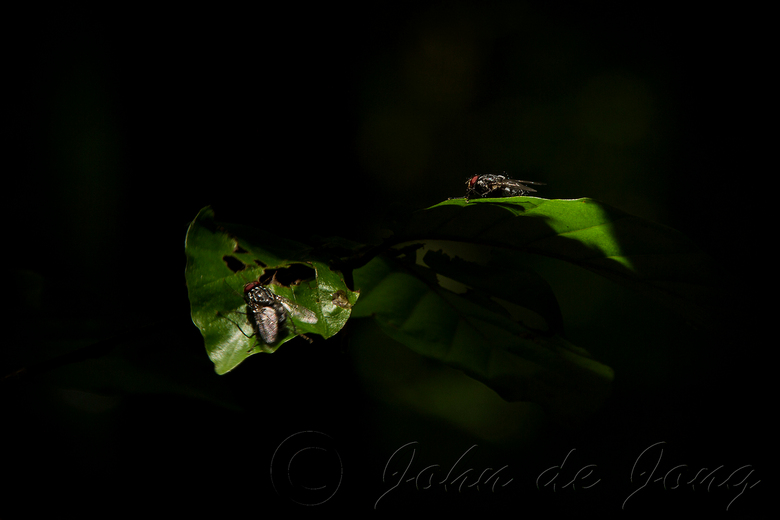 Zonnen - Ook bromvliegen zoeken liever het zonnetje op. Deze twee kozen precies voor die plaatsen waar het zonlicht op de bladeren viel.