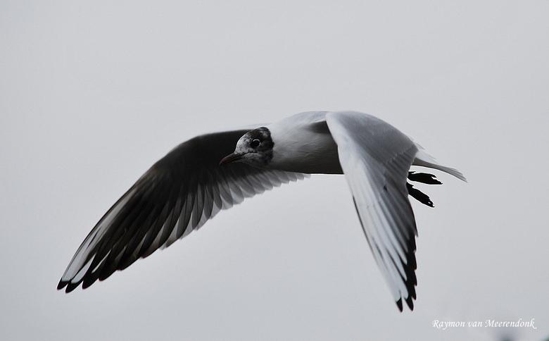 Meeuw - Ik ben me vandaag gaan verdiepen in het fotograferen van vogels dus heb ik een brood gekocht en ben ik naar een meer gegaan.<br /> Ik kan maa