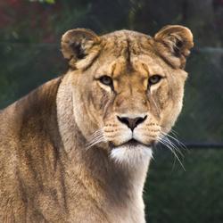 Leeuwin in dierenpark Emmen