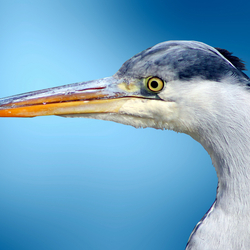 blauwereiger background.jpg