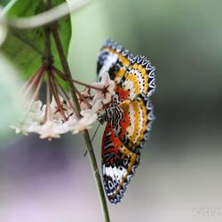 Kleurrijke vlinder in actie - Jasiusvlinder