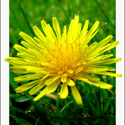 Outside a Dandelion (Probeersel)