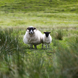 Sheep Scotland