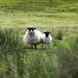 Sheep Scotland