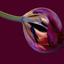 Schoonheid van uitgebloeide tulp