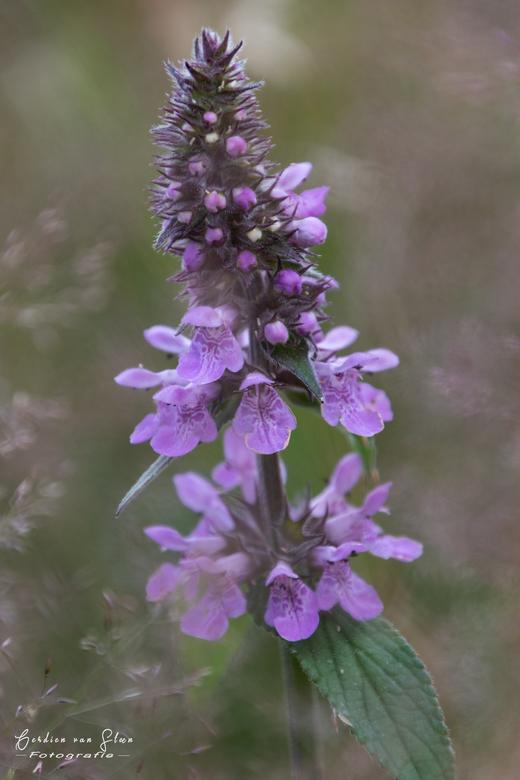 Bloem - Breda orchis.<br /> <br />