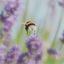 Hardwerkend tussen de Lavendel