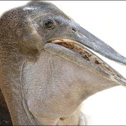 een baby pelikaan............