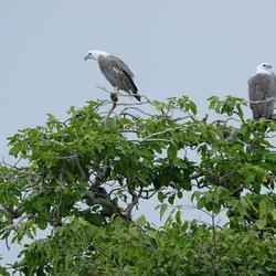 White Bellied Sea-Eagle