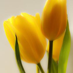 tulpen (1 van 1).jpg