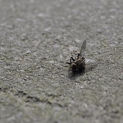 doodde vlieg bij mij in de achtertuin op de stoep liggen