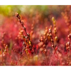 Drosera intermedia, zonnedauw.