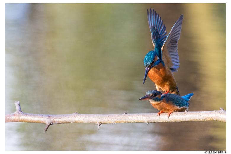 IJsvogel paring - Eerder deze week zag ik al een paar oefen-vrijpartijtjes die telkens plaatsvonden op een donkere plek voor het nest en als het al do