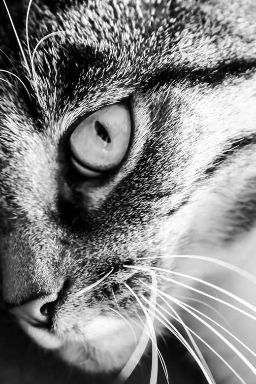 Portret van onze huistijger - Een zwart/wit portret van onze huistijger, Puk.