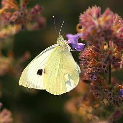 Andere vlinder, andere compositie, zelfde plant..