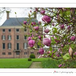 Tulpenboom bij kasteel Amerongen