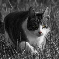 Jagende kat