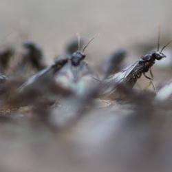 Vliegende mieren nogmaals
