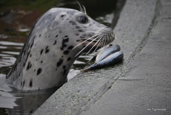 Liever verse vis - Genomen in Aqua Zoo Leeuwarden.<br /> Voederen van de zeehonden