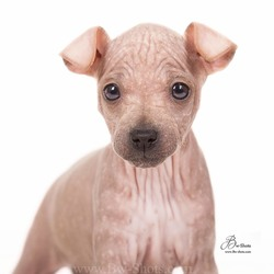 Primrose american hairless terrier puppy
