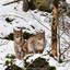 Lunxen in het Beierse woud