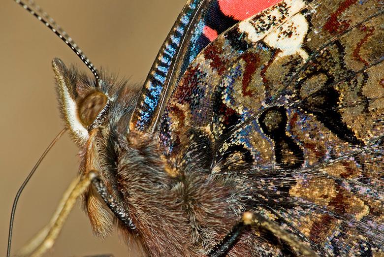 Portet van een Atlanta - Klein portretje van een Atlanta vlinder