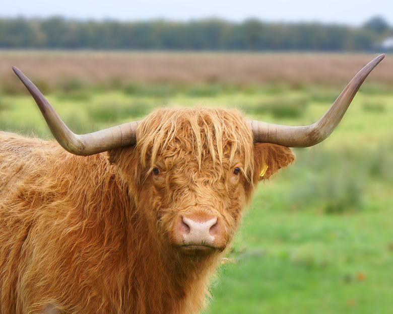 Hooglander - Schotse hooglander in Gees