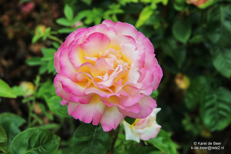 Blenheim 15 - Rose of Blenheim 2