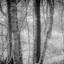 Berkenboompjes op het Fochteloerveen