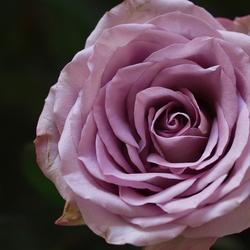 Midden van de roos