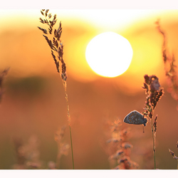 The Sundown Butterfly.