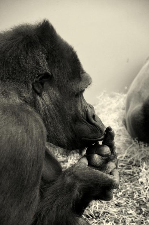 Gorilla - Een westelijke Laagland Gorilla uit Beekse berken. Diepnadenkend