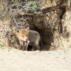 Jonge vos met een veertje