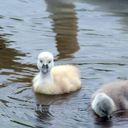 2 jonge zwanen