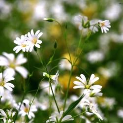 DSC_1877  Akkerhoorn bloem..