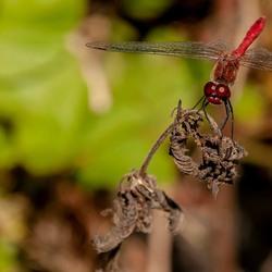 Bloedrode heidelibel 1(Sympetrum sanguineum)