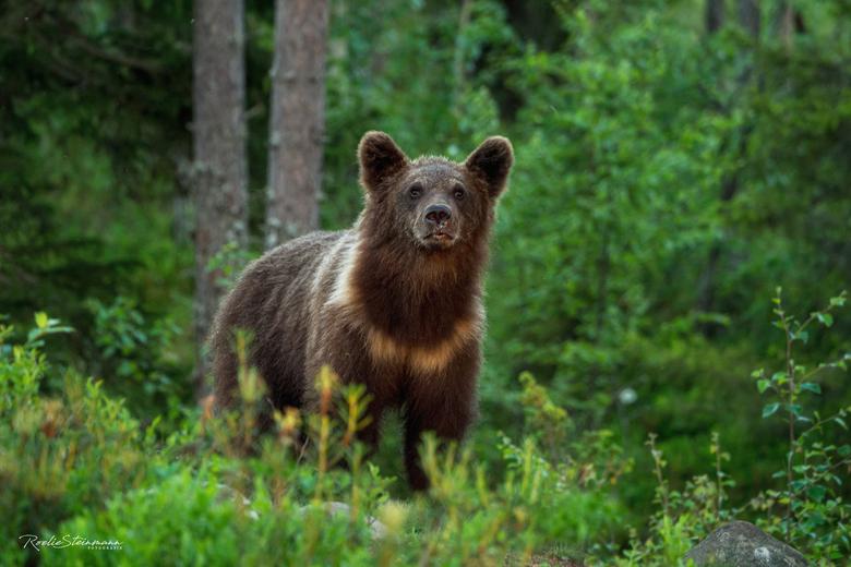 Nieuwsgierige jonge beer - Bij het maken van nieuwe vakantie plannen kon ik het niet laten om nog even door mijn archief te bladeren van de foto'
