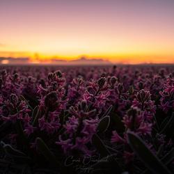 Hyacinten veld.