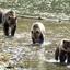 Moeder Grizzly beer en drie welpen