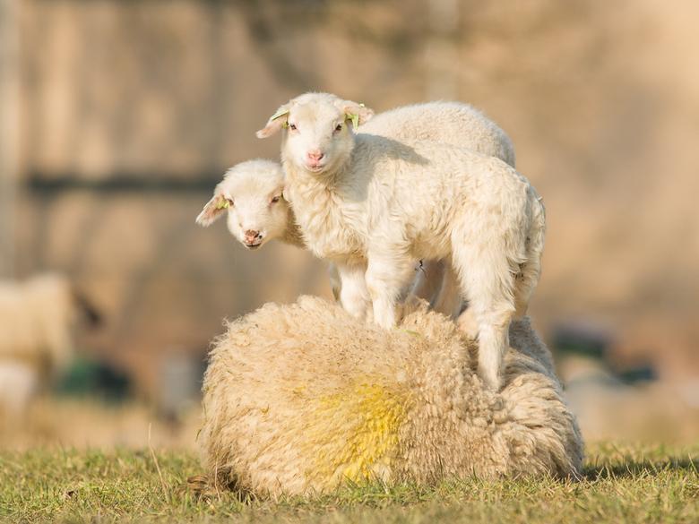 Ravotten - Jonge lammetjes ravotten met elkaar en soms bovenop hun eigen moeder