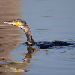 Phalacrocorax Carbo (Aalscholver)