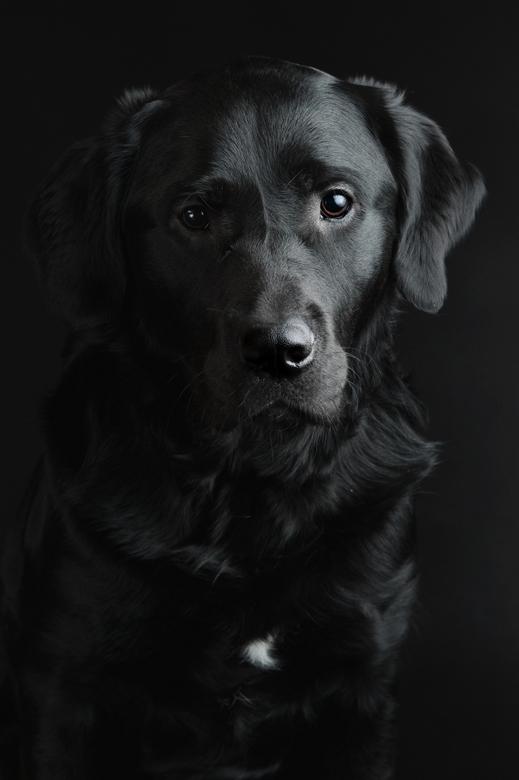 Simba - Low key portret van aspirant geleidehond, vlak voor de start van zijn opleiding op school.