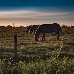 De drie paarden