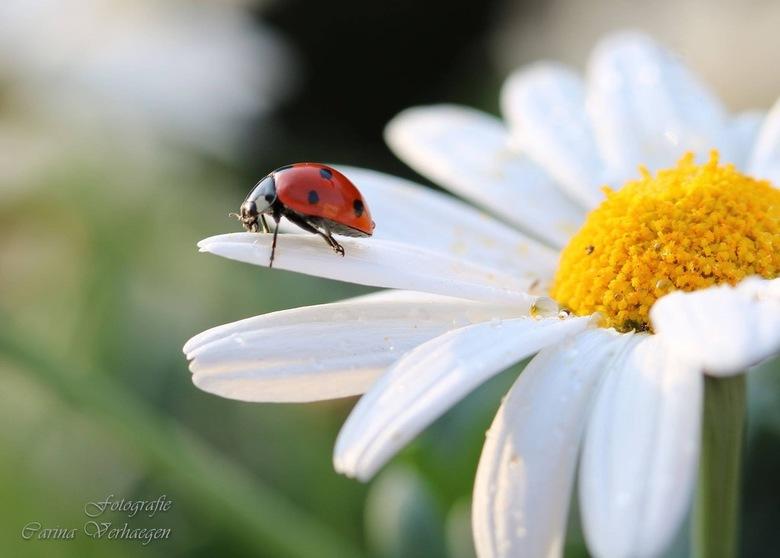 Lieveheersbeestje - Het wonder van de natuur. <br /> Macro canon 100mm: ISO100, F5, 1/40, uit de hand.