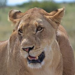 Leeuw in Kruger Park héél dichtbij