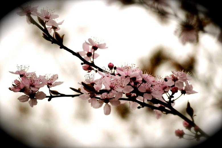 Eerste lentebloesem natuur foto van feronia zoom